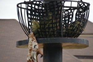 giraffeeat