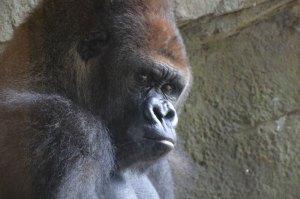 gorillalook