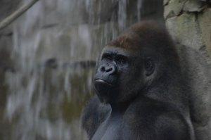 gorillathought