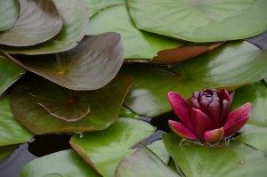 magentaflower