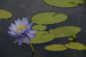 purplelotus